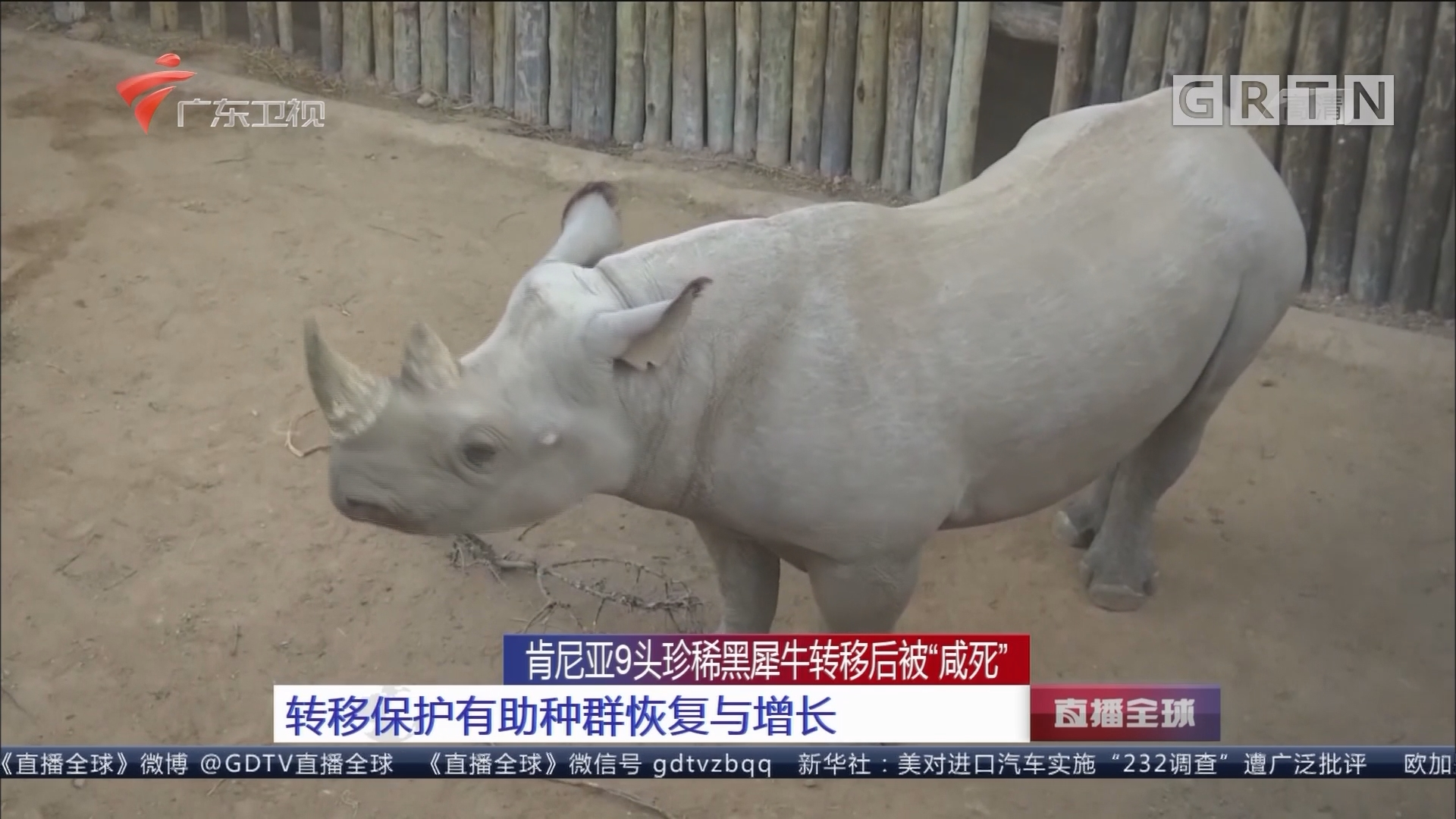 """肯尼亚9头珍稀黑犀牛转移后被""""咸死"""":转移保护有助种群恢复与增长"""