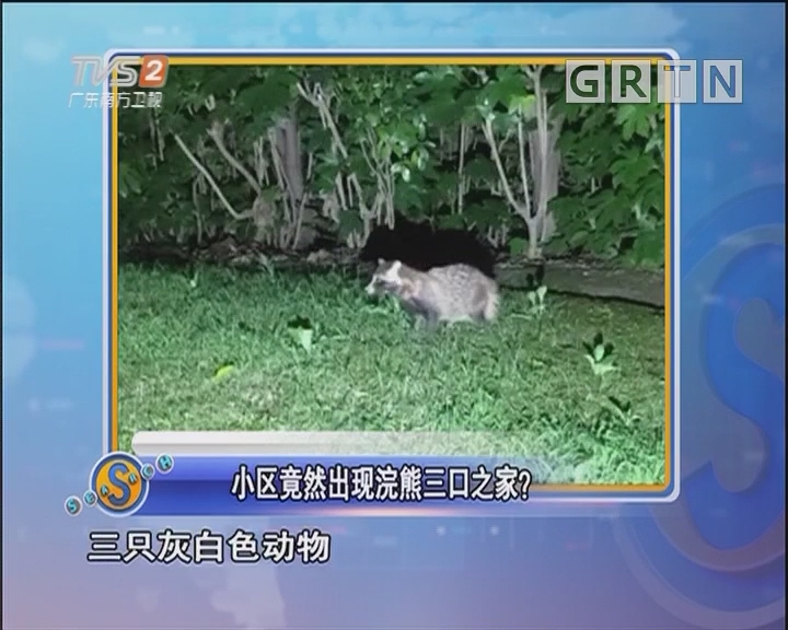 小区竟然出现浣熊三口之家?