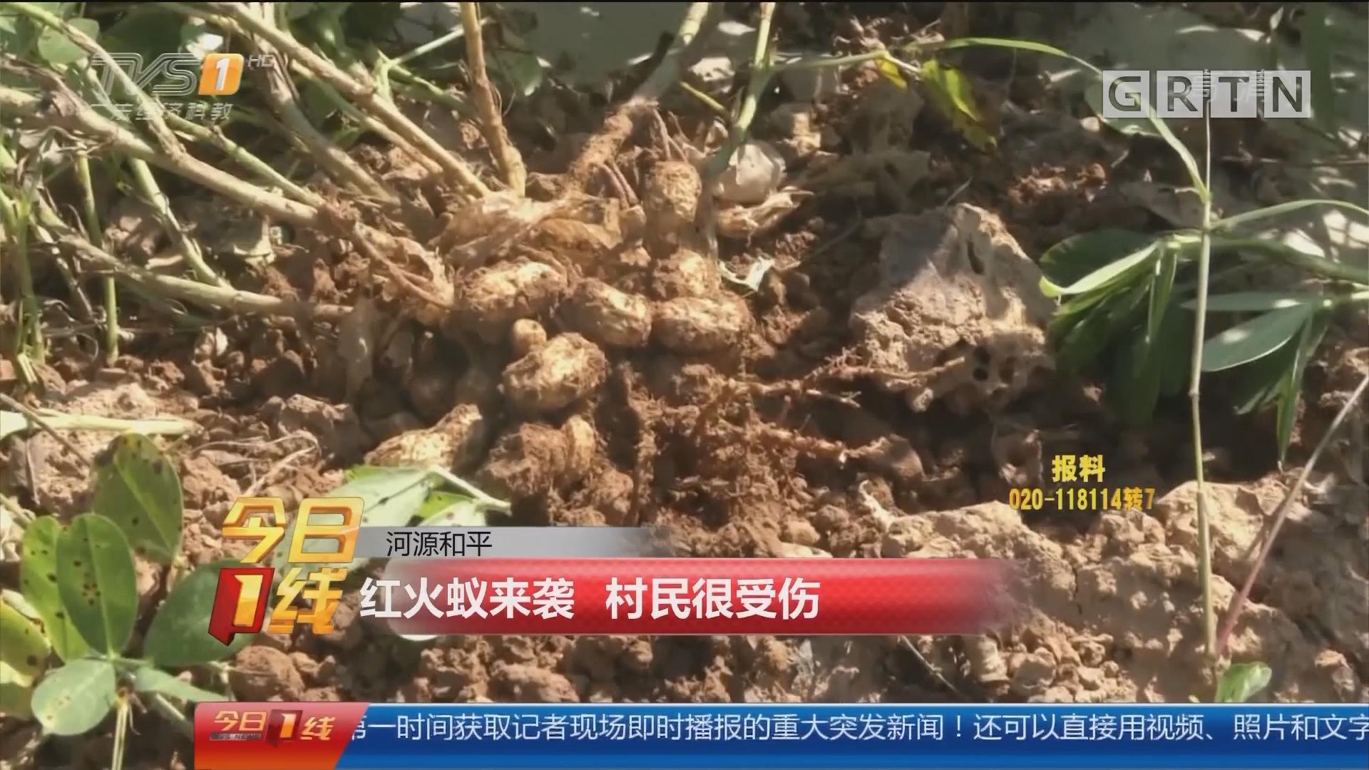 河源和平:红火蚁来袭 村民很受伤