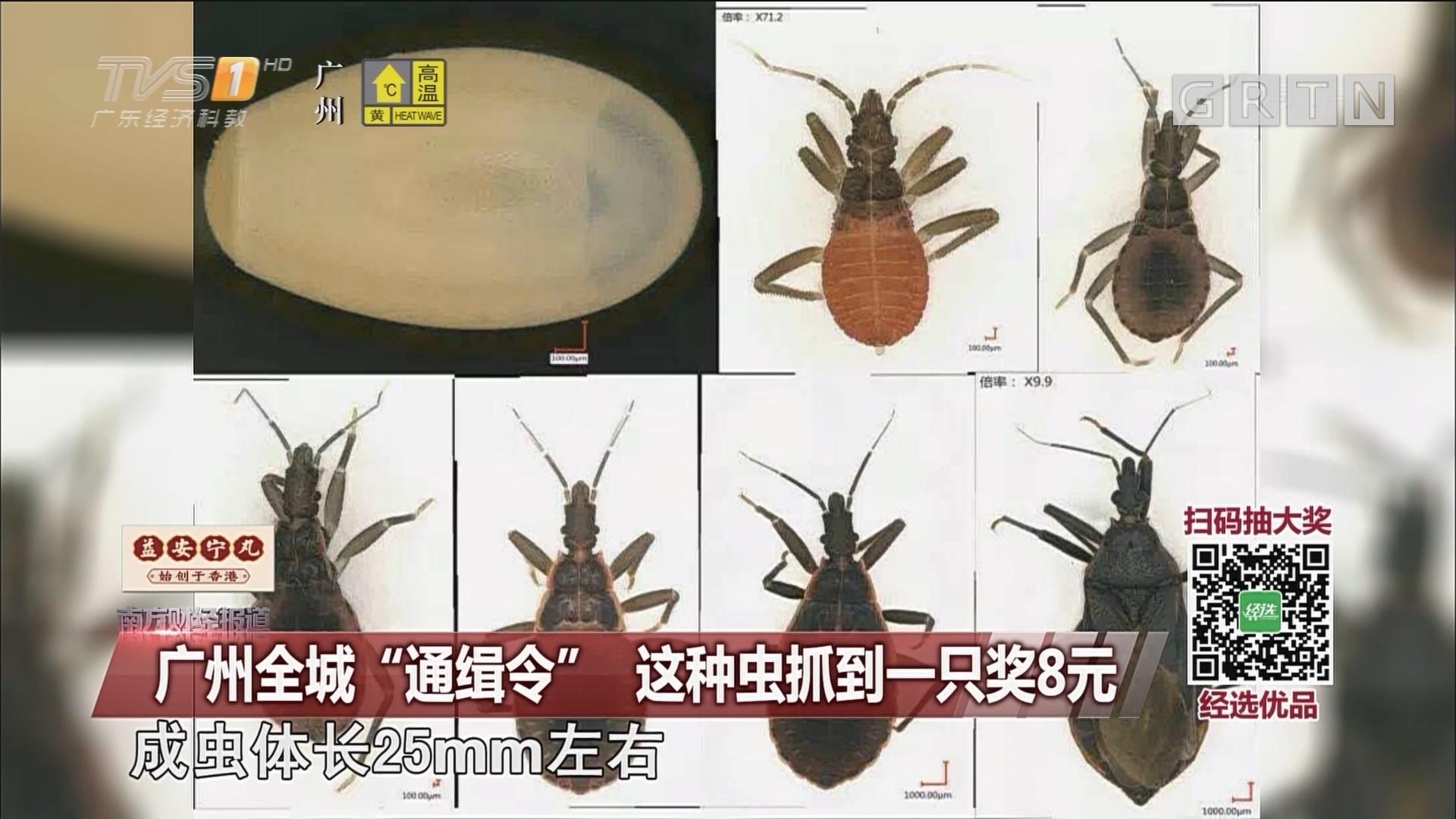 """广州全城""""通缉令"""" 这种虫抓到一只奖8元"""