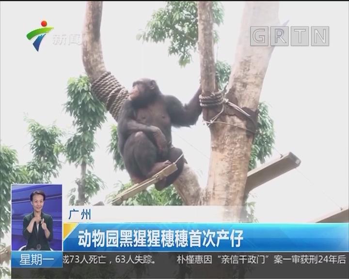 广州:动物园黑猩猩穗穗首次产仔