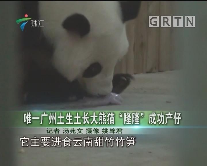 """唯一广州土生土长大熊猫""""隆隆""""成功产仔"""