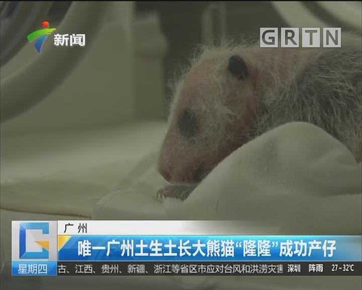 """广州:唯一广州土生土长大熊猫""""隆隆""""成功产仔"""
