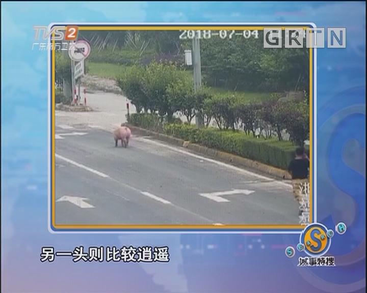 """大马路上惊现逃逸""""二师兄"""""""