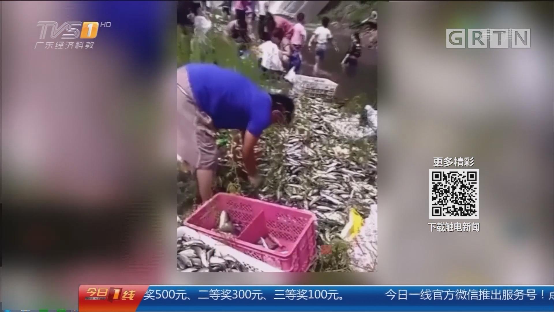 """河南洛阳:2万斤鱼""""从天而降"""" 遭村民们疯抢"""