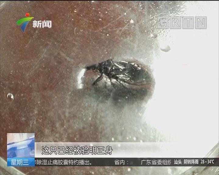 """广州:市民踊跃捉虫 疑似""""木虱王""""要送检"""