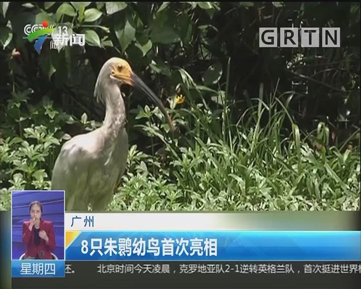 广州:8只朱鹮幼鸟首次亮相