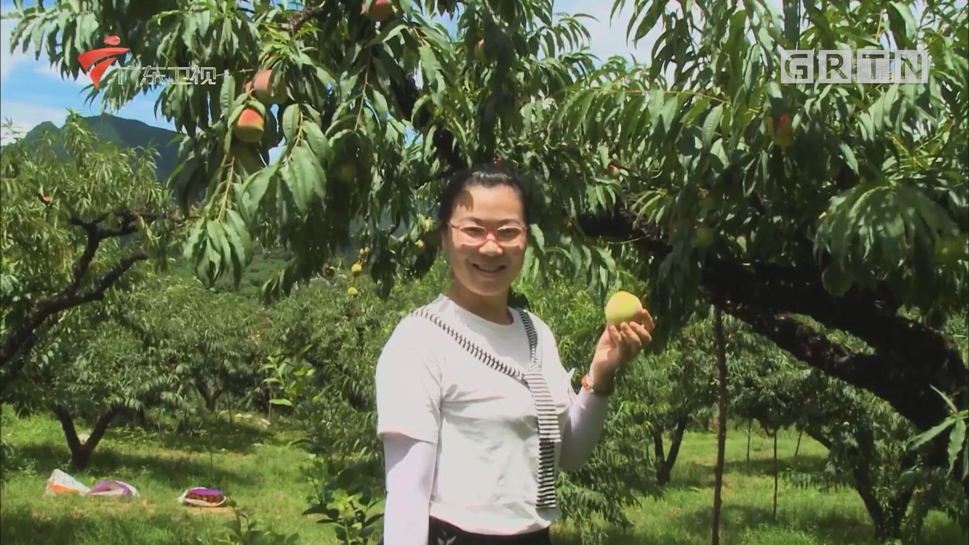 河源:鹰嘴蜜桃引领上坪镇乡村振兴发展