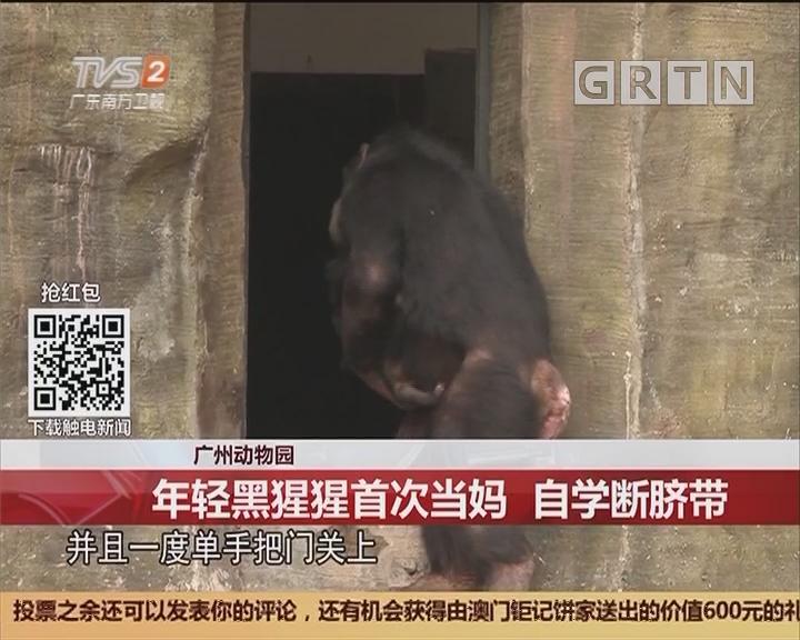 广州动物园:年轻黑猩猩首次当妈 自学断脐带