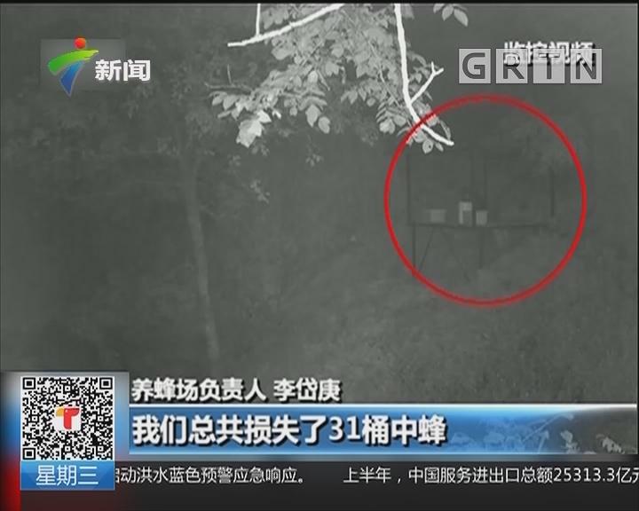 重庆:野生黑熊蜂场偷蜜 监控拍下全程