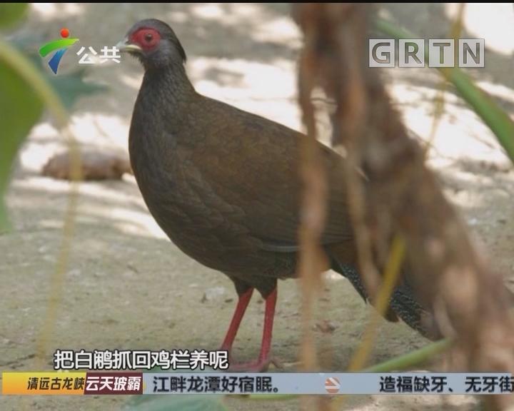 """韶关:鸡棚里藏""""白鹇"""" 两村民被刑拘"""