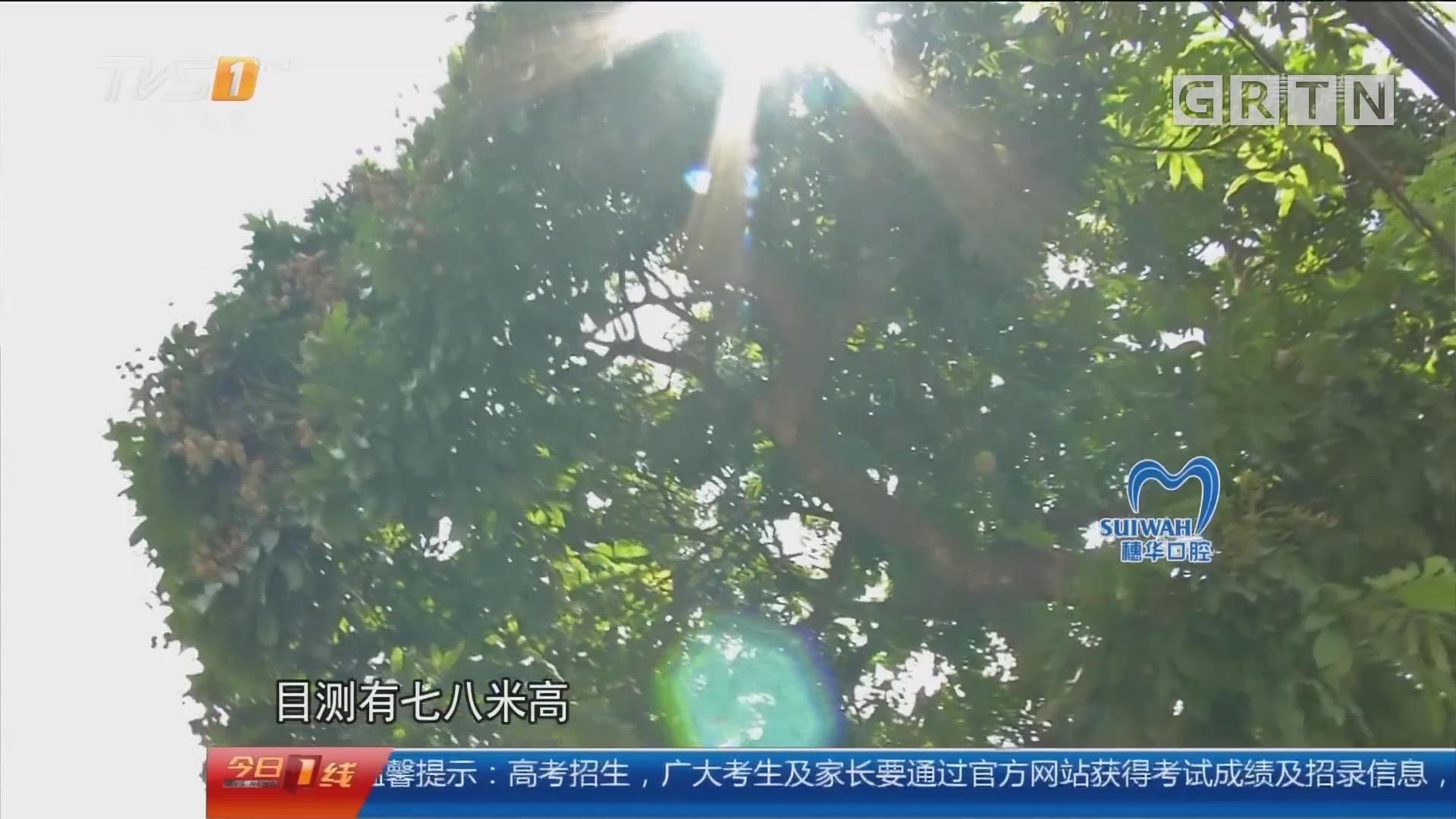 佛山禅城:男子爬树摘龙眼 高处坠落不幸身亡