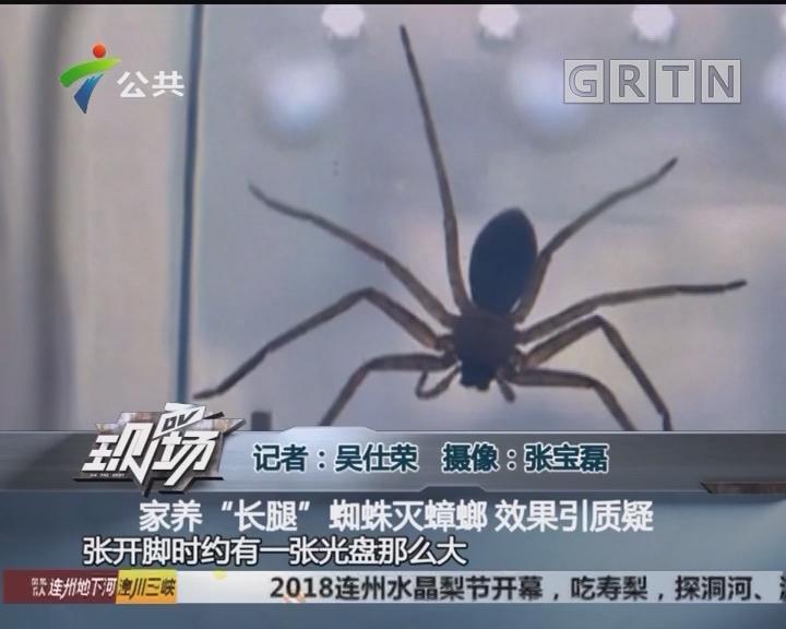 """家养""""长腿""""蜘蛛灭蟑螂 效果引质疑"""
