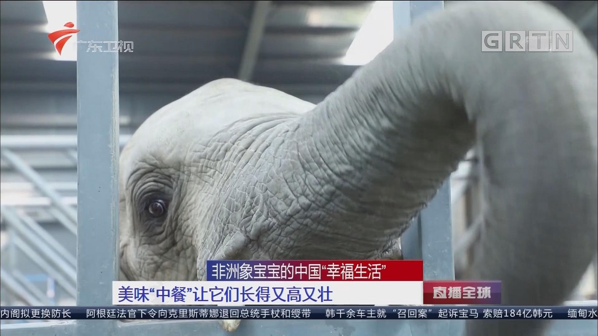 """非洲象宝宝的中国""""幸福生活"""" 美味""""中餐""""让它们长得又高又壮"""