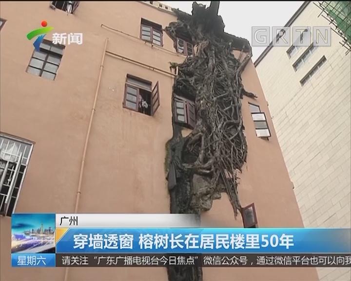 广州:穿墙透窗 榕树长在居民楼里50年