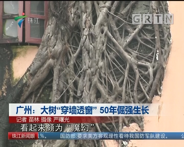 """广州:大树""""穿墙透窗"""" 50年倔强生长"""