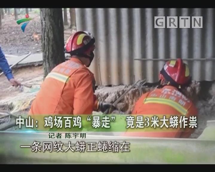 """中山:鸡场百鸡""""暴走"""" 竟是3米大蟒作祟"""