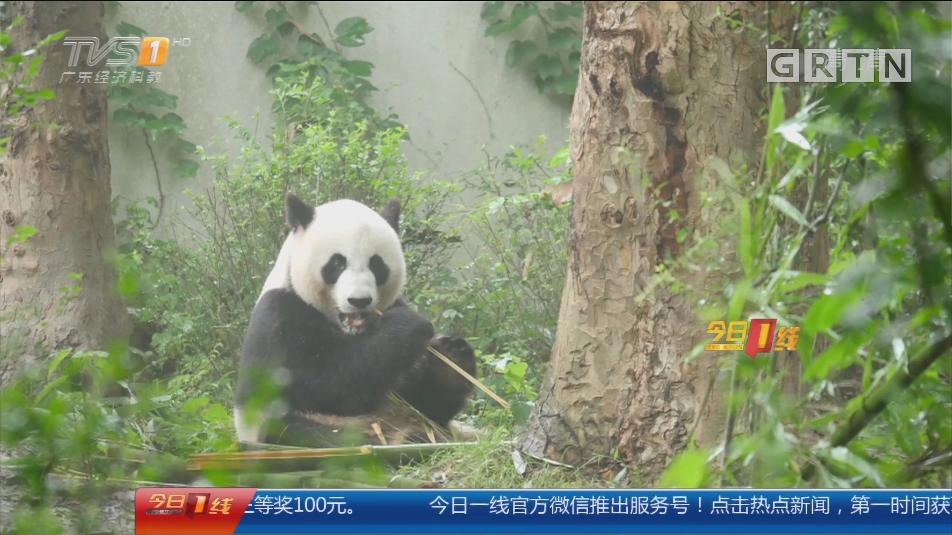 东莞:萌翻!东莞首迎国宝大熊猫兄弟