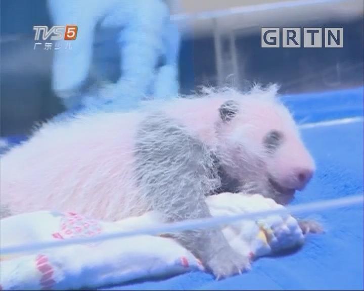 [2018-08-20]南方小记者:华南首只大熊猫二代幼崽满月