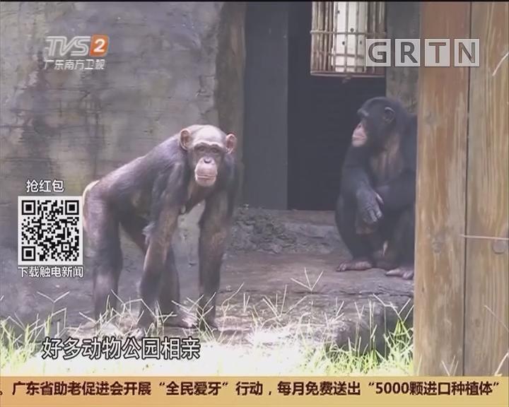 """广州动物园:黑猩猩多次相亲失败 恐变""""大龄青年"""""""