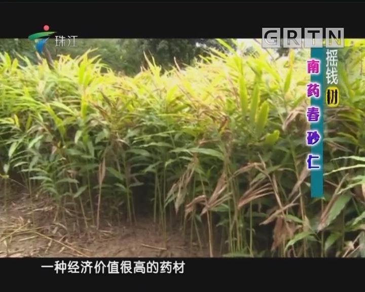 [2018-08-20]摇钱树:南药春砂仁