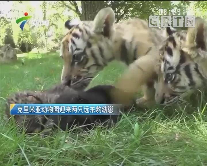 克里米亚动物园迎来两只远东豹幼崽