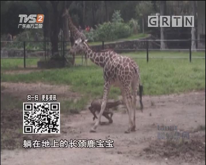 动物园喜提小长颈鹿 分娩全过程首度公开