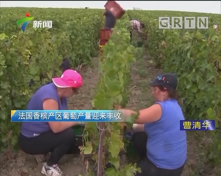 法国香槟产区葡萄产量迎来丰收