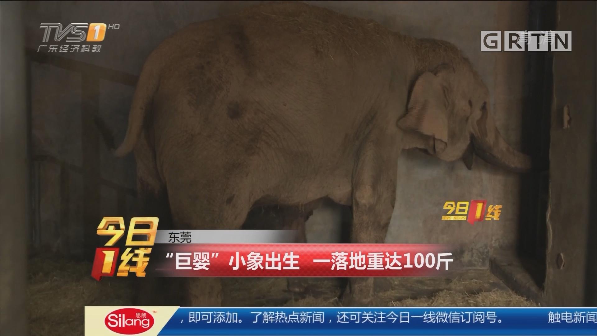 """东莞:""""巨婴""""小象出生 一落地重达100斤"""
