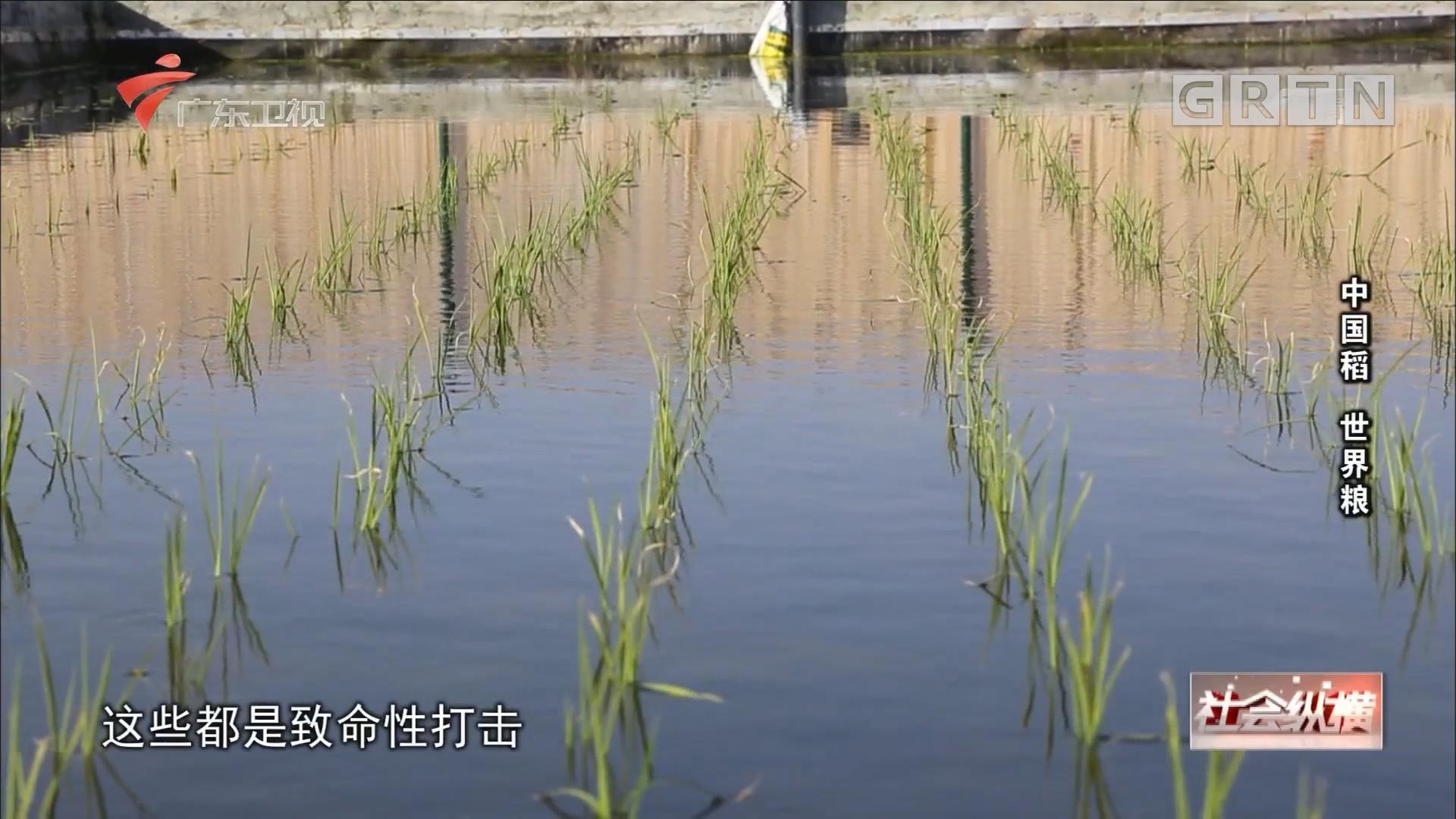 [HD][2018-09-12]社会纵横:中国稻 世界粮