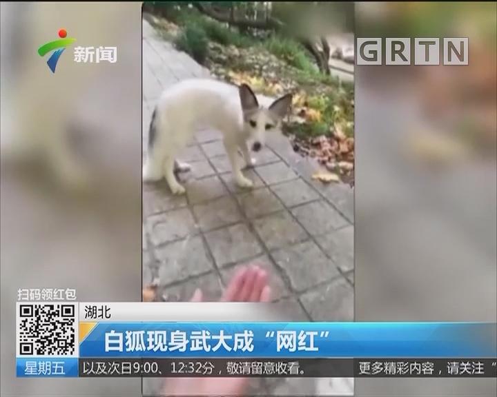 """湖北:白狐现身武大成""""网红"""""""