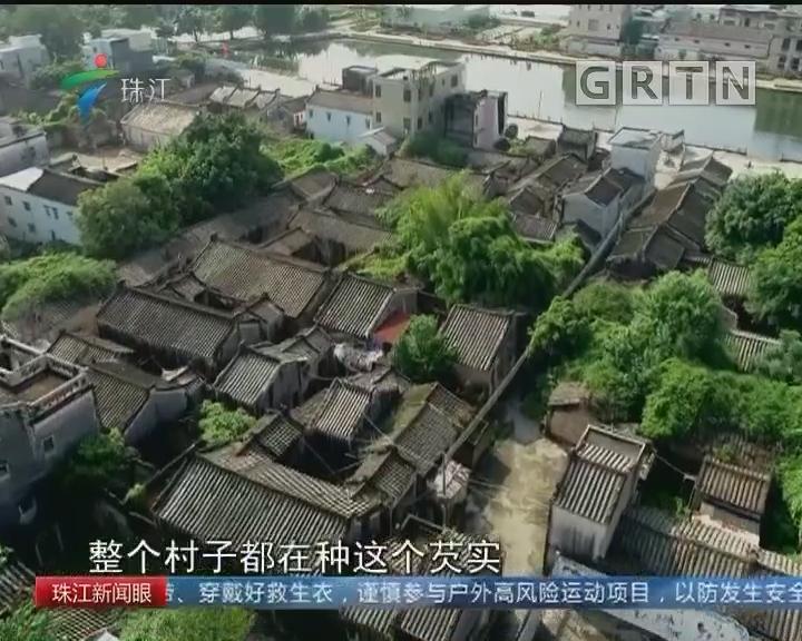 韩江畔百年古村落 喜迎芡实大丰收