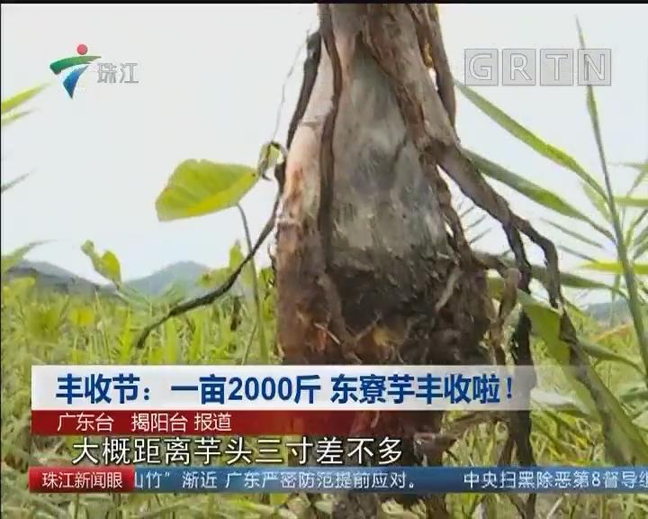 丰收节:一亩2000斤 东寮芋丰收啦!