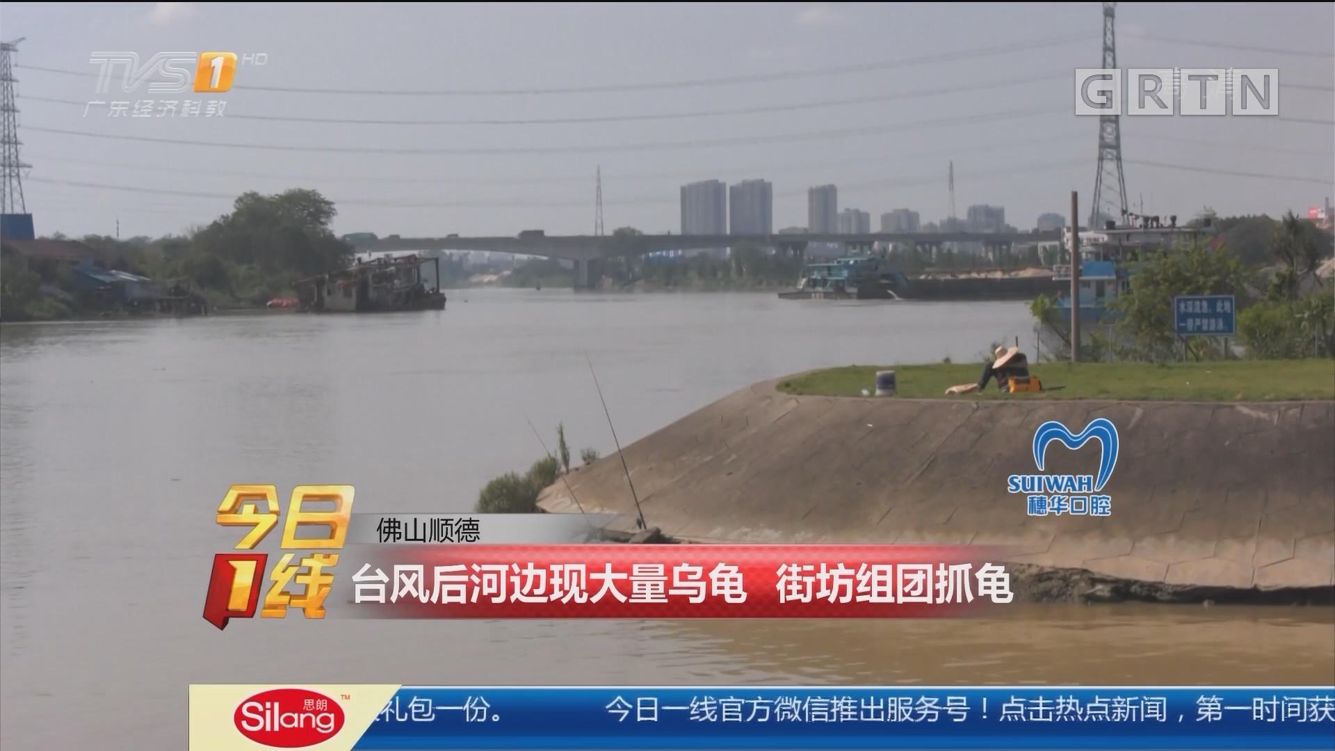 佛山顺德:台风后河边现大量乌龟 街坊组团抓龟