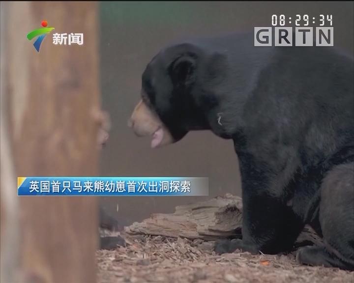 英国首只马来熊幼崽首次出洞探索