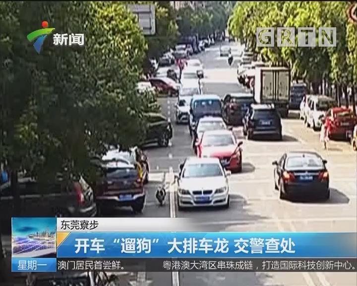 """东莞寮步:开车""""遛狗"""" 大排车龙 交警查处"""