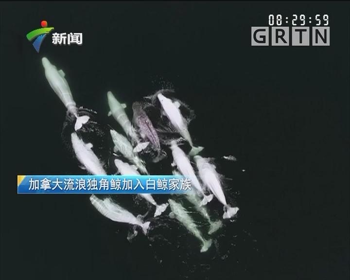 加拿大流浪独角鲸加入白鲸家族