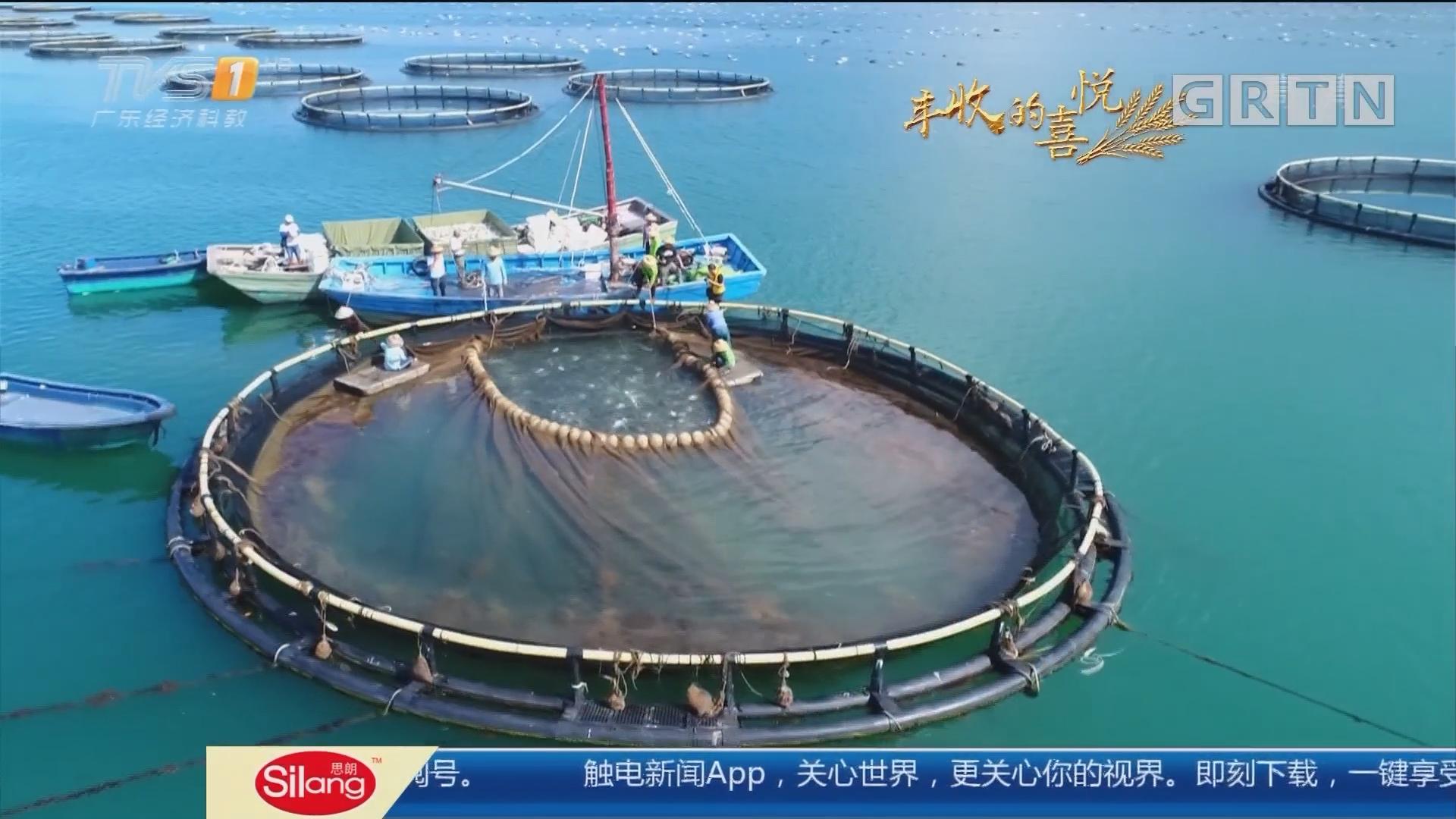 中国农民丰收节——湛江雷州:抢收50万斤金鲳鱼 与时间赛跑的丰收
