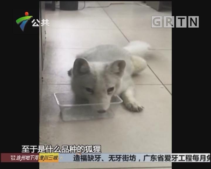 佛山:狐狸到访 在居委会睡大觉