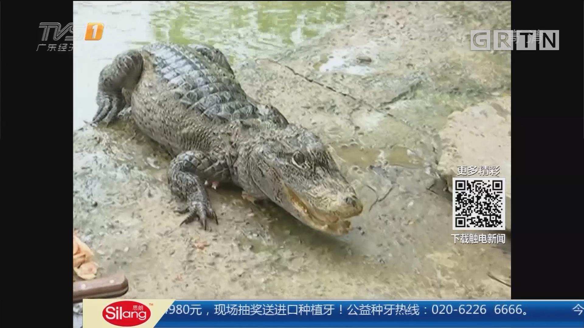 """安徽南陵:""""野生""""扬子鳄 聪明听话惹人爱"""