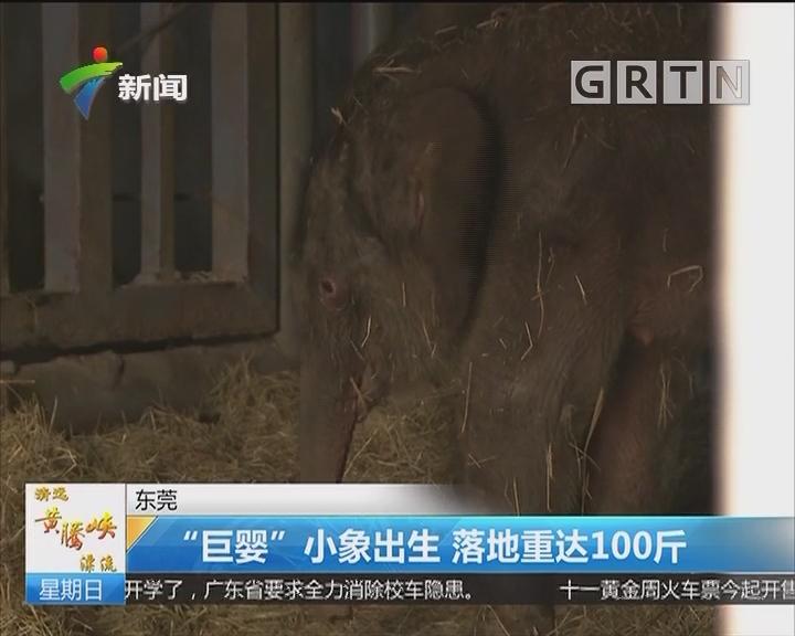 """东莞:""""巨婴""""小象出生 落地重达100斤"""