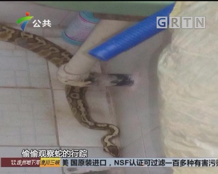 专家:闯入蛇应是无毒宠物蟒