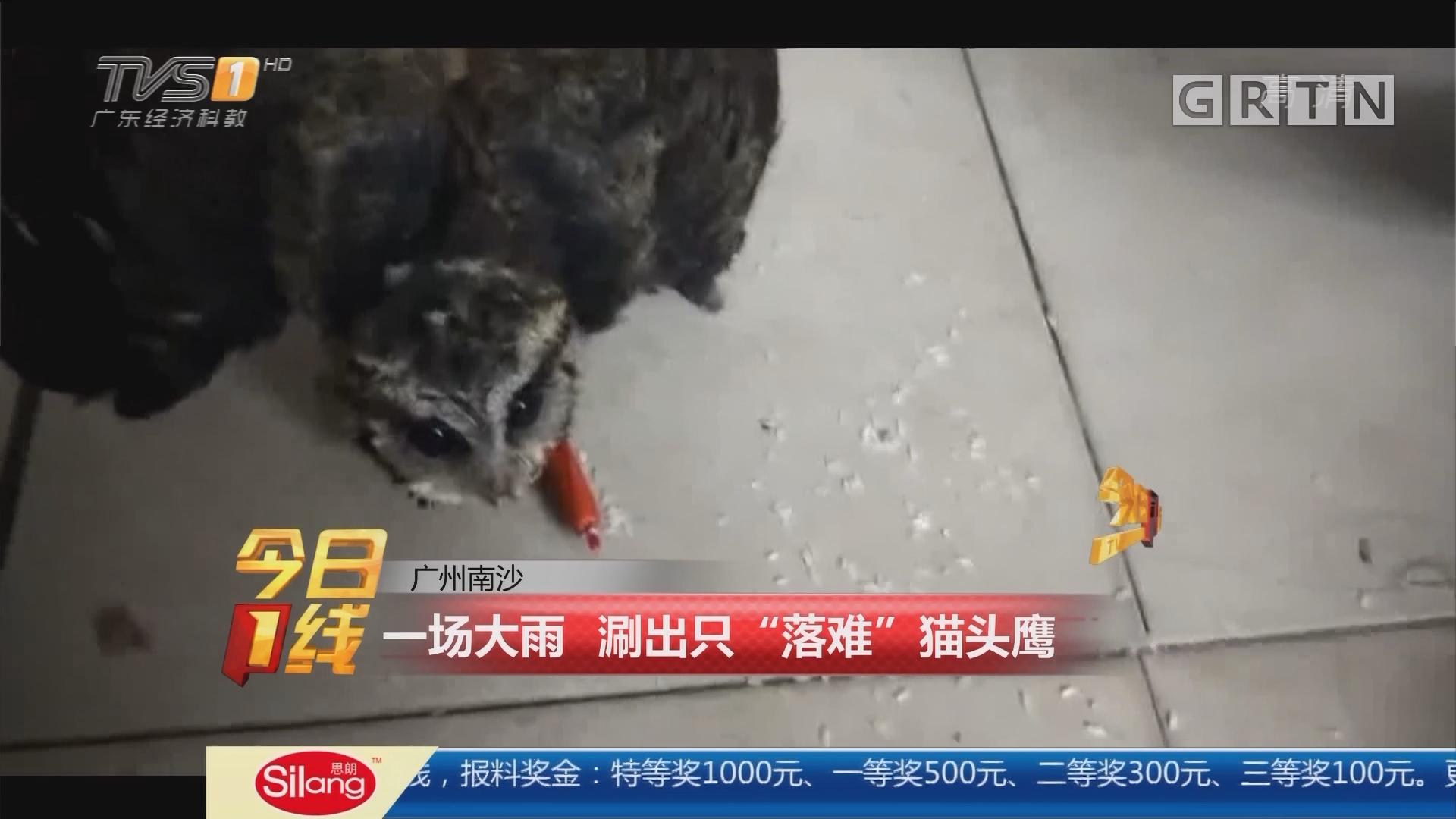 """广州南沙:一场大雨 涮出只""""落难""""猫头鹰"""