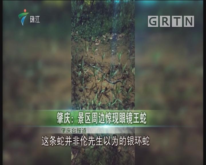 肇庆:景区周边惊现眼镜王蛇