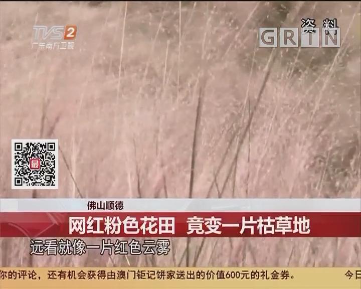 佛山顺德:网红粉色花田 竟变一片枯草地
