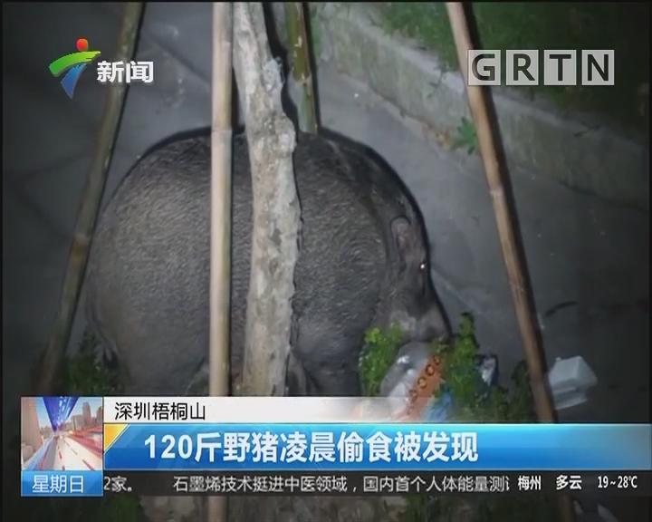 深圳梧桐山:120斤野猪凌晨偷食被发现