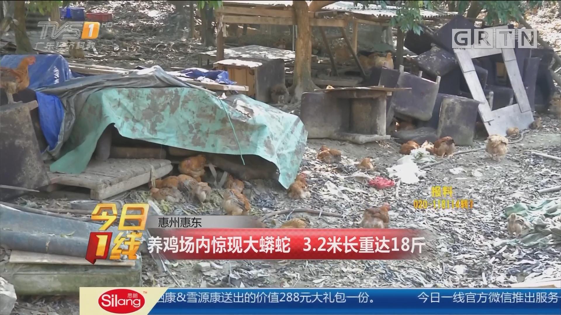 惠州惠東:養雞場內驚現大蟒蛇 3.2米長重達18斤