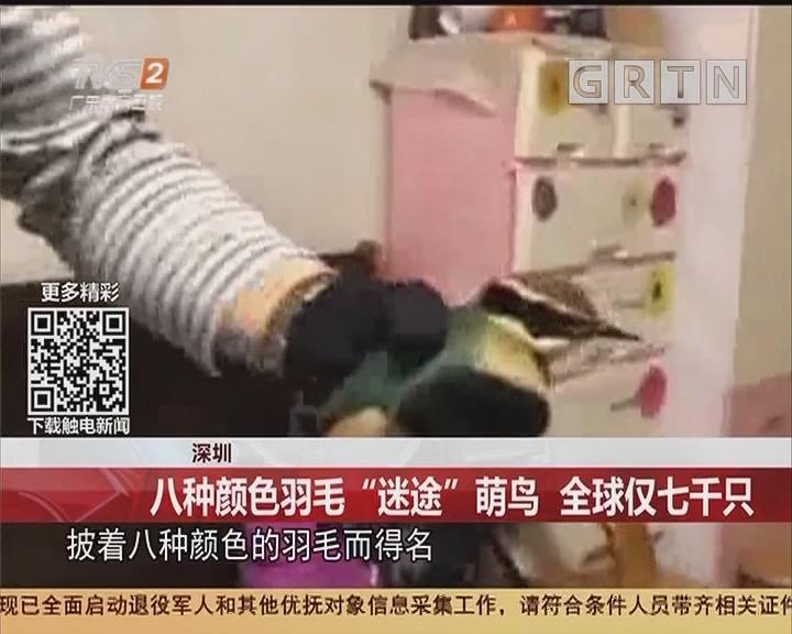 """深圳:八种颜色羽毛""""迷途""""萌鸟 全球仅七千只"""