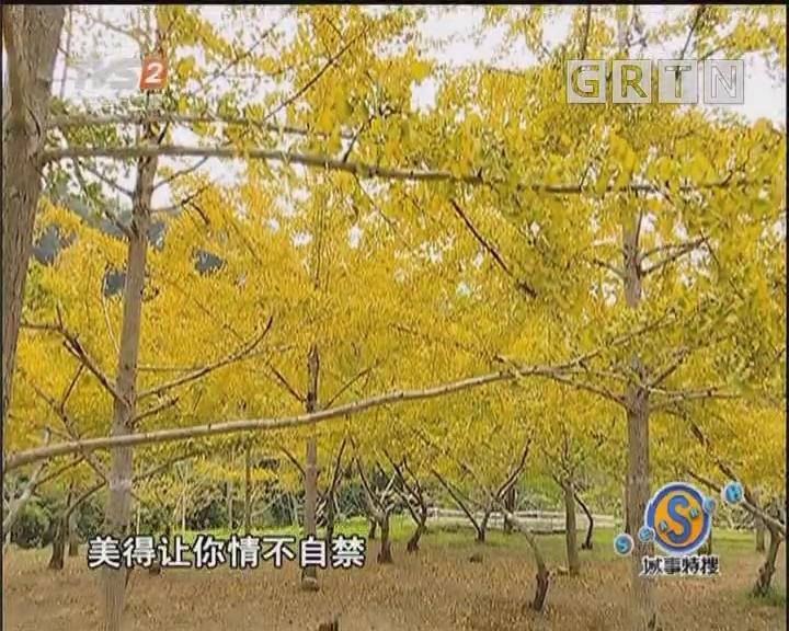 广东人游广东:黄金海 银杏林