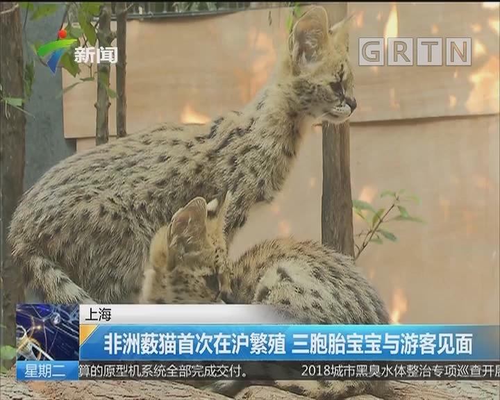 上海:非洲薮猫首次在沪繁殖 三胞胎宝宝与游客见面